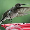 Female Ruby-throated Hummingbird by J McCombie