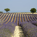 Field Of Lavender. Provence by Bernard Jaubert