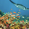 Fishes and manta ray by MotHaiBaPhoto Prints