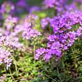 Flowering Thyme by Elena Elisseeva