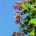 Flowering Tree by Robert Ullmann