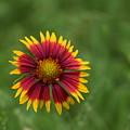 Flowers by Naga Ikkurthi