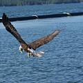 Flying Eagle. by Robert Rodda