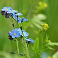 Forget-me-not. by Julie Mciver