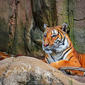 Fort Worth Zoo Tiger by Robert Bellomy