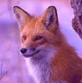 Fox by Bert Mailer