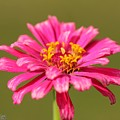 Fuchsia Pink Zinnia From The Whirlygig Mix by J McCombie