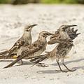 Galapagos Hood Mockingbird by Marek Poplawski