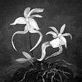 Ghost Orchids by Gina De Gorna