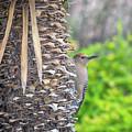 Gila Woodpecker by Tam Ryan