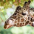 Giraffe Feeding On Green Leaves Of Lettuce by Alex Grichenko