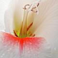 Gladiolus by Heiko Koehrer-Wagner
