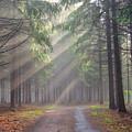 God Beams - Coniferous Forest In Fog by Michal Boubin
