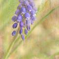 Grape Hyacinth by Wendy Elliott