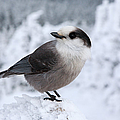 Gray Jay - White Mountains New Hampshire Usa by Erin Paul Donovan