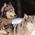 Gray Wolves by John Hyde - Printscapes