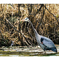 Great Blue Heron Fishing by Edward Peterson