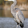 Great Blue Heron In Stanley Park Vancouver by Pierre Leclerc Photography