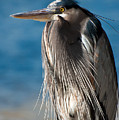 Great Blue Heron by Rich Leighton