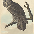 Great Cinereous Owl by John James Audubon