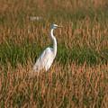Great Egret At Coba Village by Carol Ailles