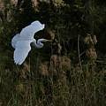 Great Egret by Dwight Eddington