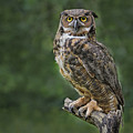 Great Horned Owl by Sherry Butts