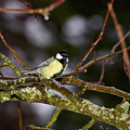 Great Tit by Jouko Lehto