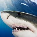 Great White Shark by Dave Fleetham - Printscapes