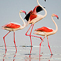 Greater Flamingos Phoenicopterus Roseus by Panoramic Images