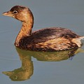 Grebe by Paulette Thomas