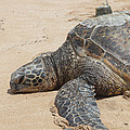 Green Sea Turtle With Gps by Ted Kinsman