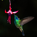 Green Violetear Colibri Thalassinus by Panoramic Images
