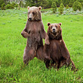 Grizzly Bear Arctos Ursus by David Burke