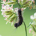 Gypsy Moth Caterpillar by Clifford Pugliese
