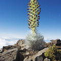 Haleakala Silversword by Ron Dahlquist - Printscapes