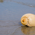 Harp Shell On Beach by Anthony Totah