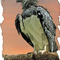 Harpy Eagle by Larry Linton