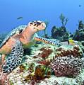 Hawksbill Turtle Feeding On Sponge by Karen Doody