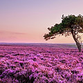 Heather At Sunset  by Janet Burdon