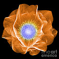 Hellebore Flower, X-ray by Ted Kinsman