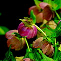 Hellebore by Patrick  Short