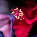 Hibiscus Flower by Jijo George