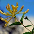 Honeysuckle by Mindy Newman