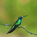Hummingbird On Barbed Wire by Robert Hamm