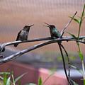 2 Hummingbirds by Kevin Mcenerney