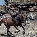 Icelandic Black Stallion, Iceland by Panoramic Images
