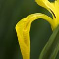 Iris by Jessica Wakefield
