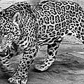 Jaguar by Granger