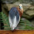 Javan Pond Heron At Zoo Berlin by Jouko Lehto